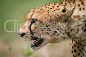Close-up of cheetah walking with bloody mouth