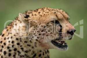 Close-up of cheetah sitting with mouth open