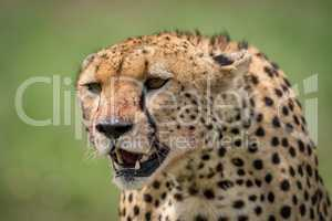 Close-up of cheetah sitting with blood-stained mouth