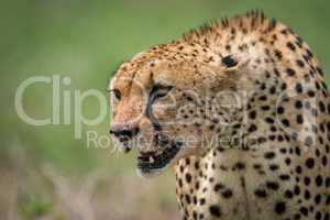 Close-up of cheetah sitting with bloodied mouth