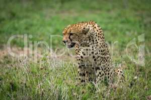 Close-up of cheetah sitting on lush grassland