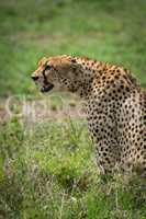 Close-up of cheetah sitting staring over grassland