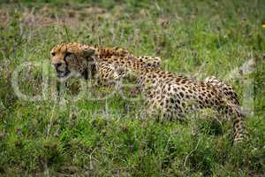 Close-up of cheetah lying on grassy plain