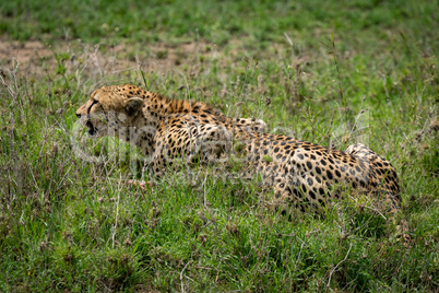 Close-up of cheetah lying on grassy meadow