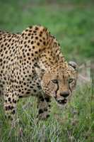 Close-up of cheetah lowering head on grassland