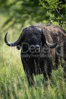 Close-up of Cape buffalo staring towards camera