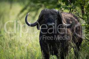 Close-up of Cape buffalo in long grass