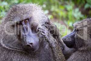 Female olive baboon grooms male in close-up