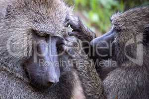 Female olive baboon grooming one in close-up