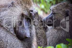 Female olive baboon grooming mate in close-up