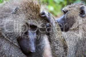 Female olive baboon grooming male in close-up