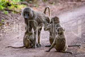 Female olive baboon groomed by three others