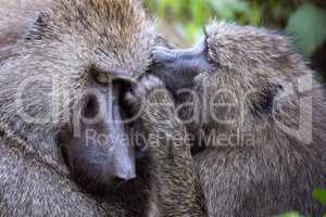 Female olive baboon grooming another in close-up