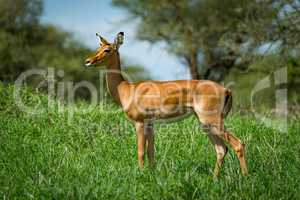 Female impala with head turned in grass