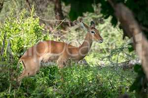 Female impala looks at camera among bushes
