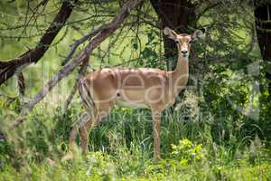 Female impala in profile standing by tree