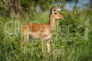 Female impala in profile in tall bushes