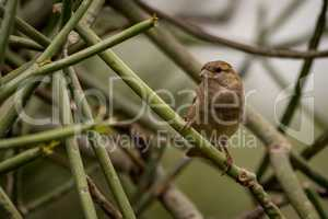 Female house sparrow facing camera on branch