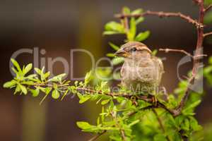 Female house sparrow on branch facing left