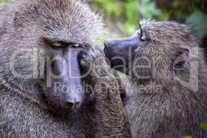 Female grooms male olive baboon in close-up