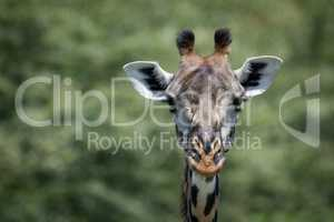 Close-up of Masai giraffe head against trees