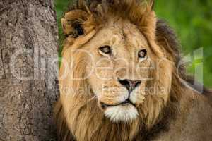 Close-up of male lion turning head right
