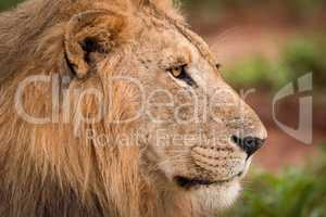 Close-up of male lion staring in profile