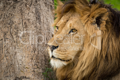 Close-up of male lion near tree trunk