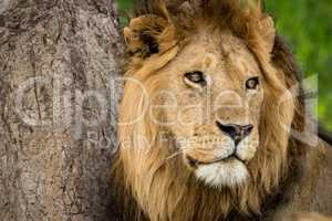 Close-up of male lion near scratched tree