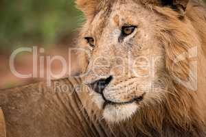 Close-up of male lion looking over shoulder