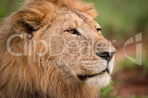 Close-up of male lion head with scar