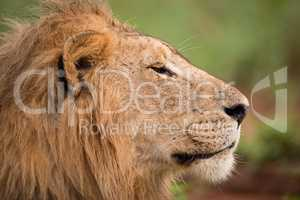 Close-up of male lion head in profile