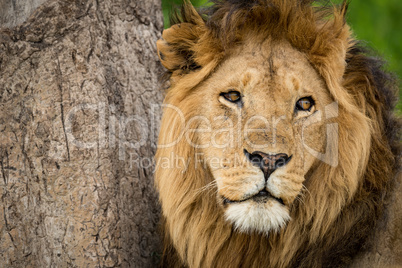 Close-up of male lion head beside tree
