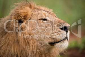 Close-up of male lion head and mane