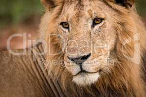 Close-up of male lion head and back