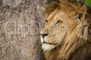 Close-up of male lion by scratched trunk