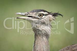Close-up of Kori bustard with beak open