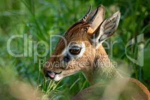 Close-up of Kirk dik-dik with tongue showing