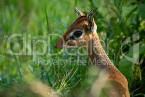 Close-up of Kirk dik-dik standing in grass