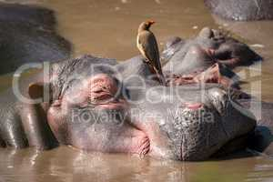 Close-up of hippopotamus with oxpecker in water