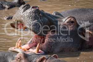 Close-up of hippopotamus in water opening mouth