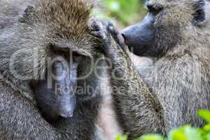Close-up of female olive baboon grooming mate