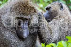 Close-up of female olive baboon grooming male
