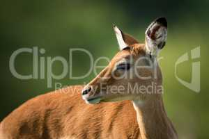 Close-up of female impala with turned head