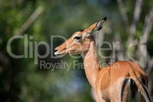 Close-up of female impala with head turned