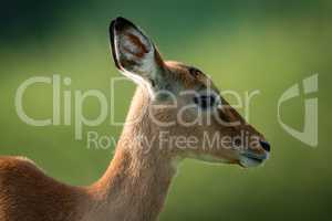 Close-up of female impala with blurred background
