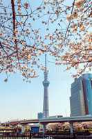 Tokyo Skytree tower in Japan with cherry blossoms