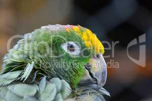 Sleepy parrot portrait