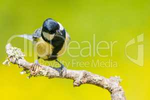 Great tit on a tree branch  with copy space for text