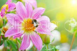 Big bumblebee collects nectar on dahlia